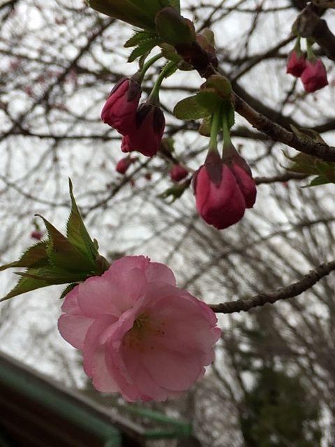 桜がきれいでした